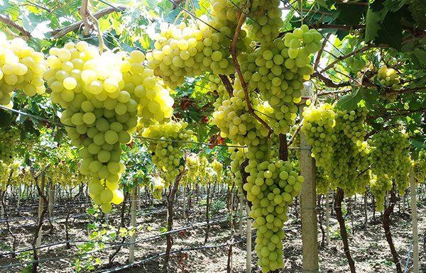 La journ e vinicole toutes les actualit s du vin - Tailler la vigne raisin de table ...